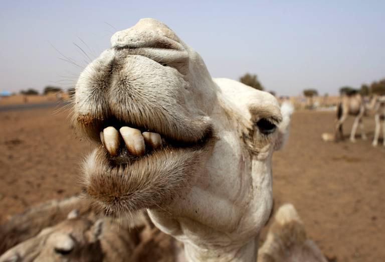 course chameau